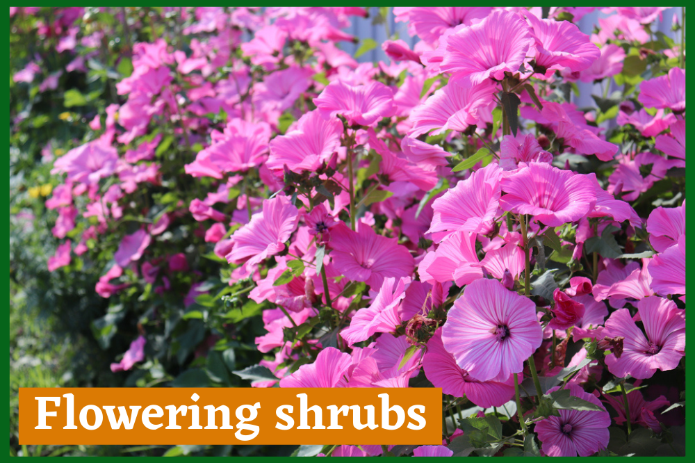 Flowering shrubs - Garden Beauty