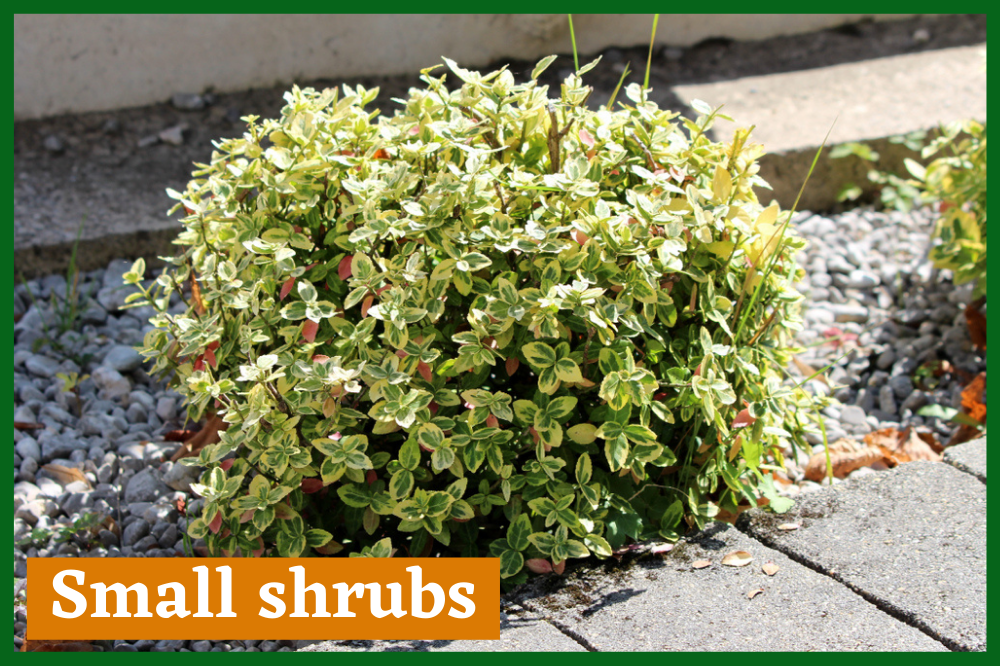 Small shrubs - Garden Beauty